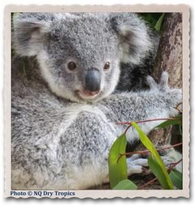 Koala_SKing500px